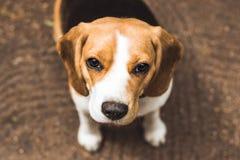 Красивая охотничья собака бигля с предпосылкой с космосом для что-то стоковое изображение rf
