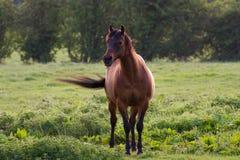 Красивая лошадь Брайна, который стоят в сельском поле Стоковая Фотография RF