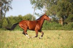 Красивая лошадь залива бежать на поле Стоковые Изображения