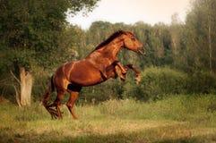 Красивая лошадь залива поднимая вверх Стоковая Фотография