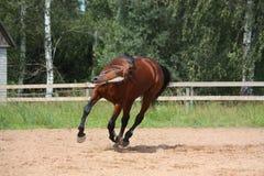 Красивая лошадь залива скакать на поле Стоковое фото RF