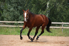 Красивая лошадь залива скакать на поле Стоковые Фото