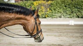 Красивая лошадь залива Стоковое фото RF