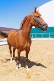 Красивая лошадь каштана стоит в paddock на горячий летний день стоковые фотографии rf