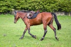 Красивая лошадь скакать на поле в лете Стоковая Фотография