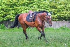 Красивая лошадь скакать на поле в лете Стоковое Фото