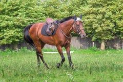 Красивая лошадь скакать на поле в лете Стоковое Изображение RF