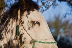 Красивая лошадь с голубым глазом Стоковые Фотографии RF