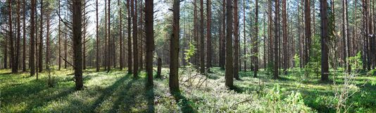 Красивая панорама леса в лете Сосновый лес стоковая фотография rf