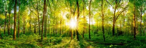 Красивая панорама леса стоковое изображение rf