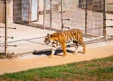 Красивая пантера Тигр тигра идя с большой клеткой на заднем плане стоковые изображения