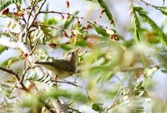 Красивая певчая птица вербы Стоковая Фотография