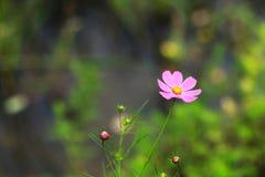 Красивая персидская хризантема стоковое фото rf