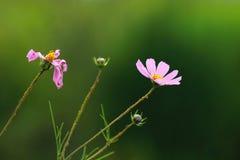 Красивая персидская хризантема стоковое фото