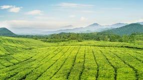 Красивая плантация чая на утре туманном Стоковые Изображения