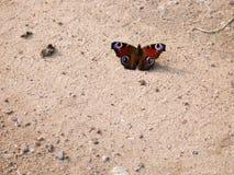Красивая покрашенная бабочка сидя на песке Стоковые Фото