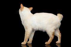 Красивая порода без кота Меконга кабеля Bobtail изолировала черную предпосылку Стоковая Фотография RF