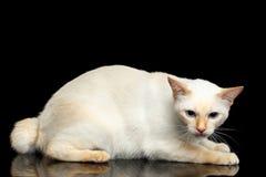 Красивая порода без кота Меконга кабеля Bobtail изолировала черную предпосылку Стоковое Фото