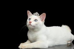 Красивая порода без кота Меконга кабеля Bobtail изолировала черную предпосылку Стоковое фото RF