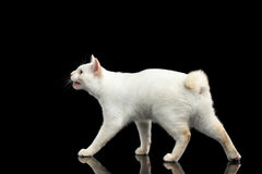 Красивая порода без кота Меконга кабеля Bobtail изолировала черную предпосылку Стоковые Изображения RF