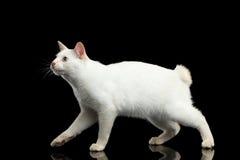 Красивая порода без кота Меконга кабеля Bobtail изолировала черную предпосылку Стоковые Фото