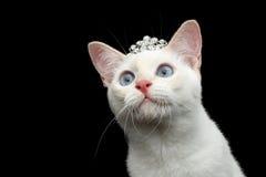 Красивая порода без предпосылки черноты кота Меконга кабеля Bobtail Стоковая Фотография RF