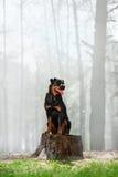 Красивая порода собаки Rottweiler сидит на пне на предпосылке дыма в древесинах и смотрит к стороне стоковое изображение rf