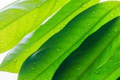 Красивая польза листьев зеленого цвета для предпосылки Стоковая Фотография RF