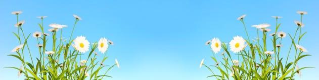Красивая предпосылка весны с маргаритками и голубым небом Flowerin стоковые фотографии rf