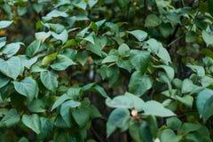 Красивая предпосылка зеленых листьев кустов Листья overcast яркие на ветви Природа предпосылки в парке мимо Стоковые Фото