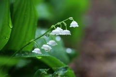 Красивая предпосылка природы весеннего времени с ландышем f Стоковая Фотография