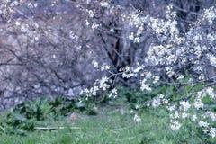 Красивая предпосылка природы с небольшими белыми цветками покрывает ветви и лужайку дерева стоковая фотография rf