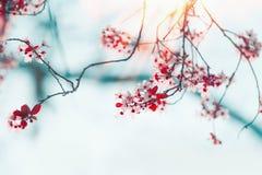 Красивая предпосылка цветения природы весны с зацветать вишни Природа весеннего времени напольно стоковая фотография