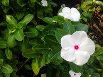 Красивая предпосылка белого цветка Стоковое фото RF