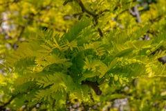 Красивая предпосылка желтых и зеленых листьев акации Стоковое Изображение RF
