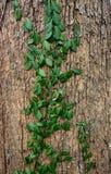 Красивая предпосылка, извивы плюща на древесине Стоковое фото RF