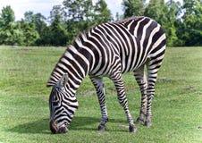Красивая предпосылка при зебра есть траву Стоковое фото RF