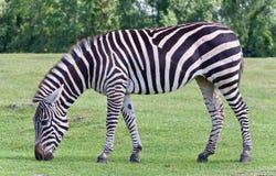 Красивая предпосылка при зебра есть траву Стоковые Изображения RF