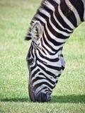 Красивая предпосылка при зебра есть траву Стоковая Фотография