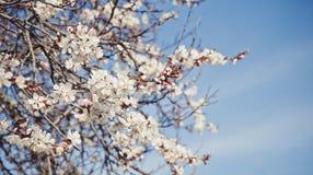 Красивая предпосылка для карточек пасхи Чувствительные белые цветки дерева абрикоса Стоковые Изображения