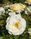 Красивая принцесса белой розы Уэльса стоковое изображение rf