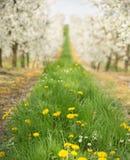 Красивая природа в саде вишни Стоковое фото RF