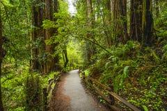 Красивая природа - лес Redwood - деревья красного кедра стоковая фотография