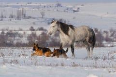 Красивая прогулка лошади в снеге зимы с собаками Стоковая Фотография RF