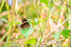 Красивая прямая бабочка Treebrown садясь на насест на листьях Стоковое Изображение RF