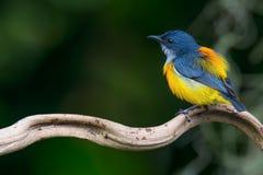 Красивая птица, Апельсин-bellied Flowerpecker & x28; Trigonostigma Dicaeum & x29; мужчина стоковые изображения rf
