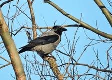 Красивая птица вороны отдыхая на ветви дерева, Литве Стоковое Изображение