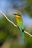 Красивая птица в среду обитания ветви дерева природы Сине-замкнутое philippinus Merops Пчел-едока садясь на насест на backgr хвор Стоковые Фотографии RF