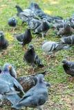 Красивая птица голубя идя на траву в квадрате Любознательные голуби стоя на траве в городе паркуют смешно Стоковое Фото
