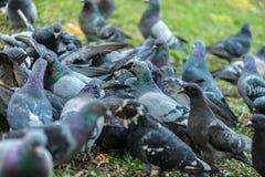 Красивая птица голубя идя на траву в квадрате Любознательные голуби стоя на траве в городе паркуют смешно Стоковая Фотография